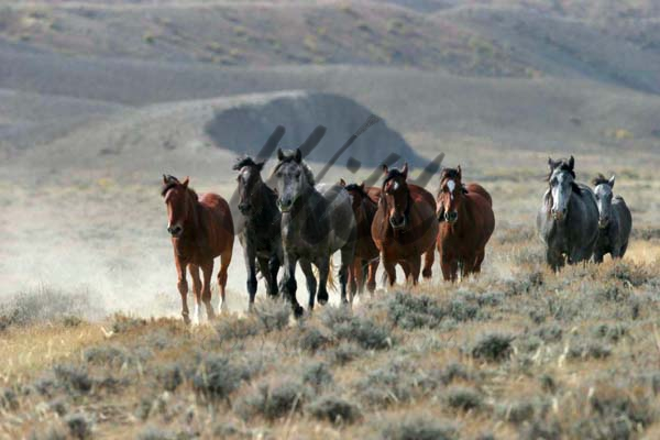 mustang horse rearing. Mustang group on Wyoming