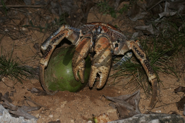 A Robber Crab