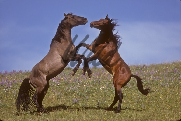 horse wallpaper wild. Advanced Search horses stallion
