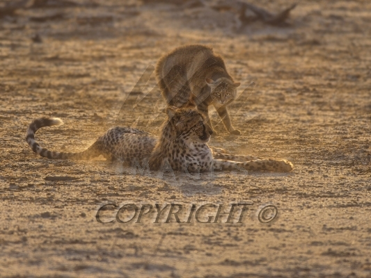 http://www.wildimages.biz/uploads/gallery/0000-0000-african-wildcat-holding-off-cheetah-35-5000.jpg