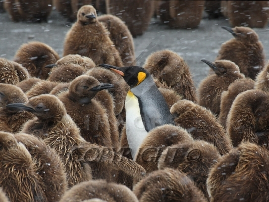 penguin mature singles With an estimated 5,500 to 7,000 mature birds remaining in the wild, the tawaki is considered one of the rarest penguin species in the world, and is listed as vulnerable on the iucn red list a.