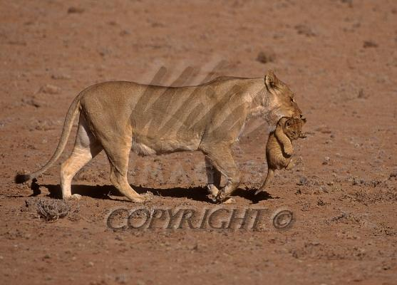 lion and lioness and cub. lion cub roaring,