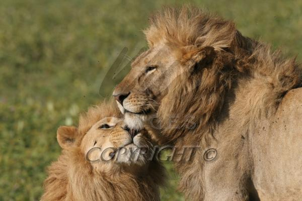 Two male african lions
